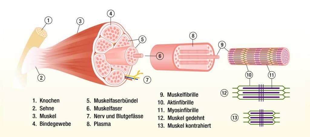 Alles über Muskeln - BioTechUSA